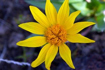 Sunflower © Ken Cole
