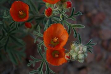 Unknown Desert Flower © Ken Cole
