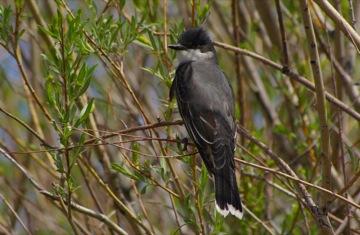 Eastern Kingbird © Ken Cole