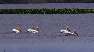 American White Pelican © Ken Cole
