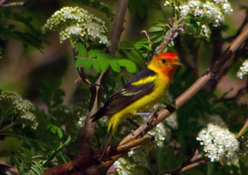Western Tanager © Ken Cole