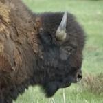 Buffalo Bull © Ken Cole