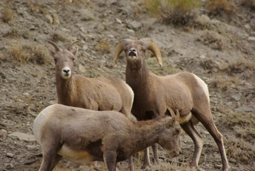 Bighorn Sheep near north entrance of Yellowstone National Park  © Ken Cole