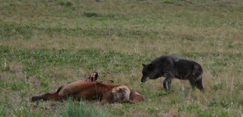 June 2007 - B333, before he was collared, near a road-killed elk on Phantom Hill, north of Ketchum, Idaho. Photo  Claudia Fiaschetti © 2007,