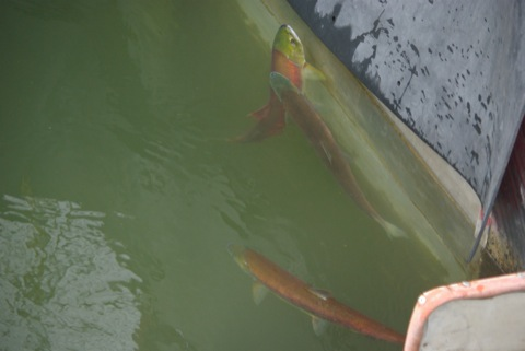 Sockeye Salmon in Sawtooth Hatchery trap 2008 © Ken Cole
