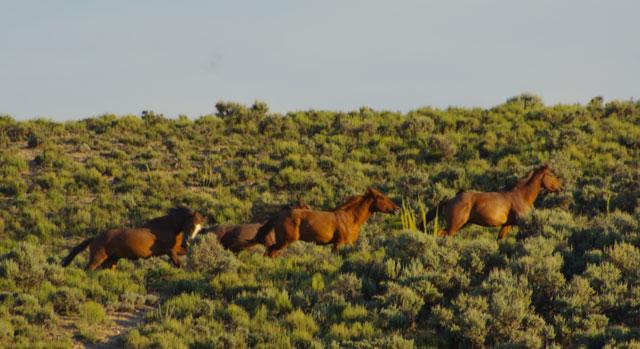 Wild Horses in Nevada © Ken Cole