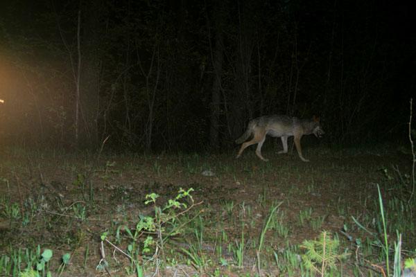 WDFW wolf