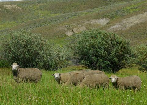 Domestic Sheep © Ken Cole
