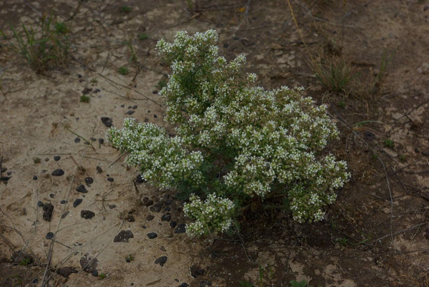 Slickspot Peppergrass (Lepidium papilliferum) © Ken Cole