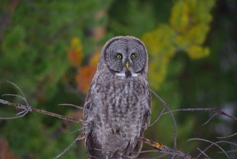 Great Gray Owl © Ken Cole