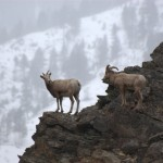 Bighorn Sheep in Salmon River Canyon © Ken Cole