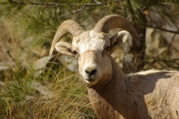 Bighorn Sheep © Ken Cole