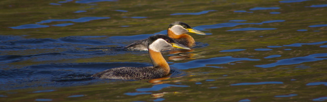 Red necked grebes, Warm Lake, Idaho © Ken Cole