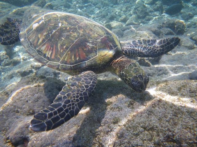 Green Sea Turtle in Hawaii © Ken Cole