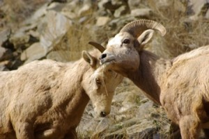 Bighorn Sheep © Ken Cole