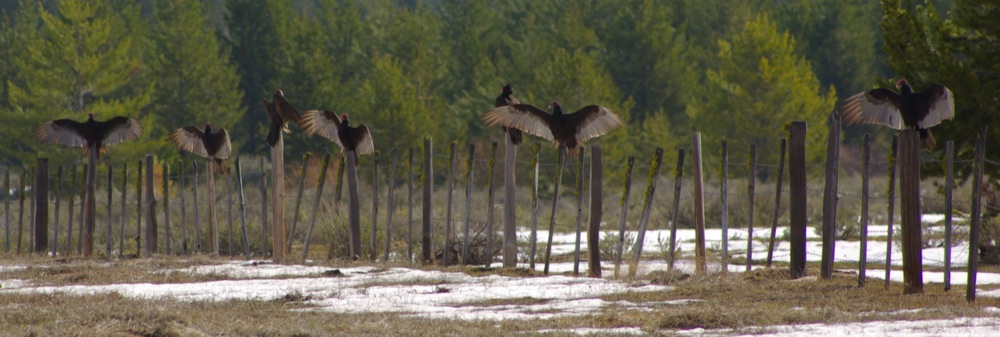 Vultures in Scott Valley, east of Cascade, Idaho © Ken Cole
