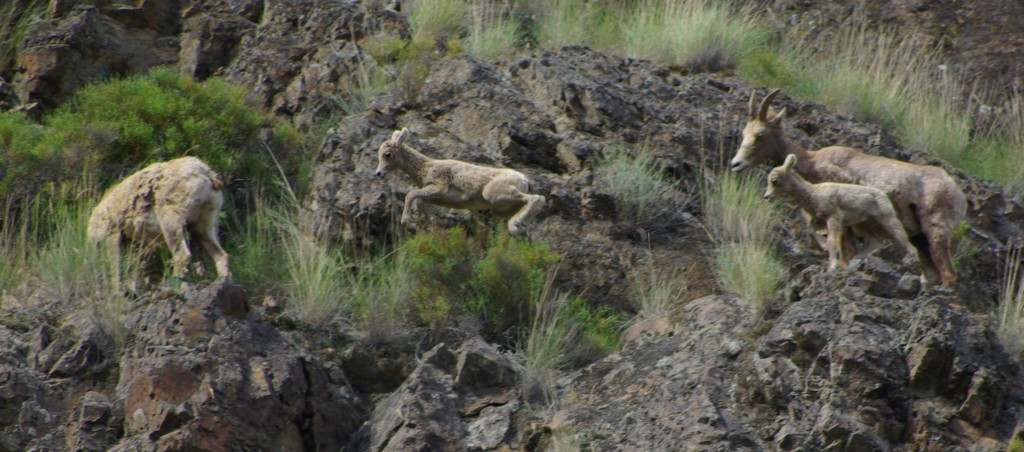 Bighorn Sheep lambs © Ken Cole