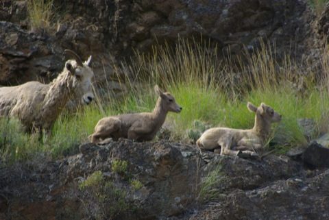 Hells Canyon Bighorn Sheep © Ken Cole