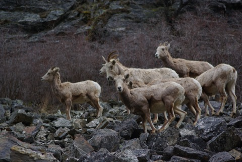 Bighorn sheep in the Salmon River Canyon of Idaho © Ken Cole