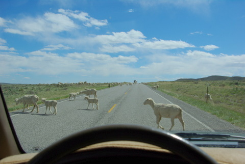 Domestic sheep on the road © Ken Cole