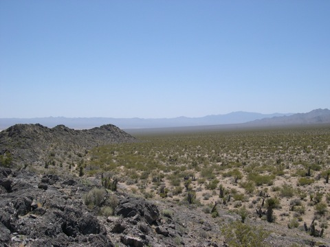 Ancient Mojave yuccas on the Ivanpah power plant site. (2009) © Michael J. Connor, Ph.D.