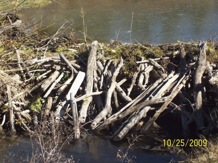 Beaver dam in Box Canyon