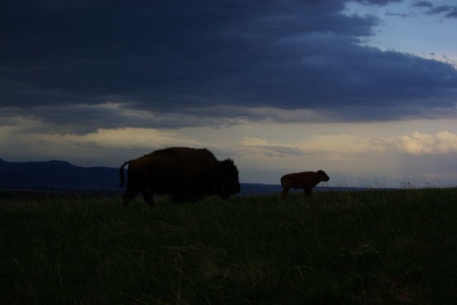 Buffalo on Horse Butte © Ken Cole