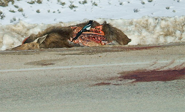 Young moose hit on SW Montana highway Jan. 2013. Photo about 6 hours after accident. Photo courtesy of Nancy.