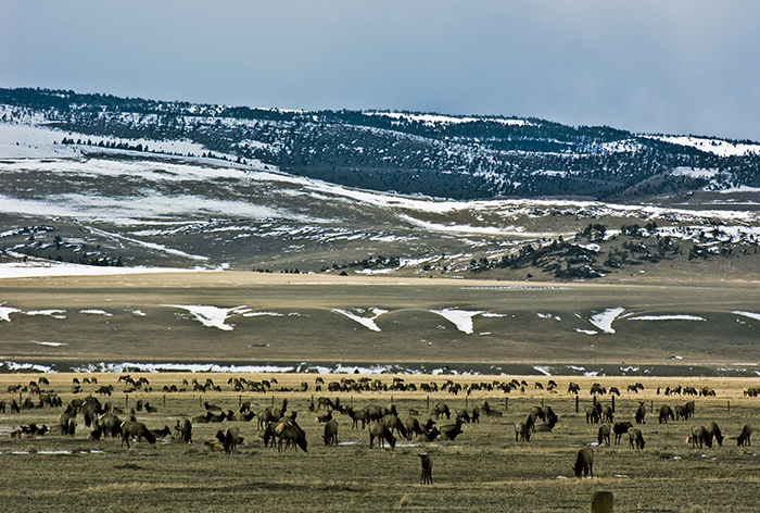 elk-wintering-near-wolfcr_madison-valley3