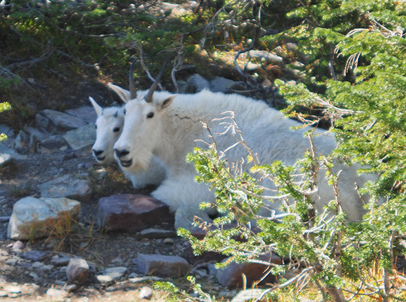 Mountain goats on the Hidden Lake Trail. Glacier National Park. Copyright Ralph Maughan