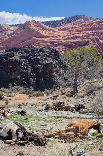 A grim introduction to a scenic area of BLM lands. This is a carcass dump, loved by coyotes, ravens, crows and other scavengers. Though it looks like the cattle here disappear more as as they are eaten by much smaller creatures. Photo copyright Ralph Maughan