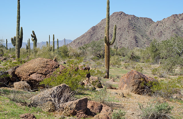 Greenup in late February on desert floor. Formerly grazed area Sonoran Nat'l Monument, Arizona. Copyright Ralph Maughan