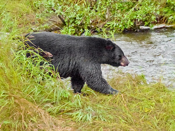Alaskan black bear suddenly emerges from the grass along salmon spawning creek. Copyright Ralph Maughan 2011