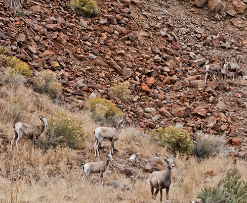 Bighorn sheep near Challs, Idaho. Copyright Ralph Maughan