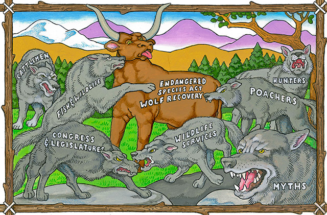 The real struggle between cow and wolves. Courtesy Patrick Cat Whisperer
