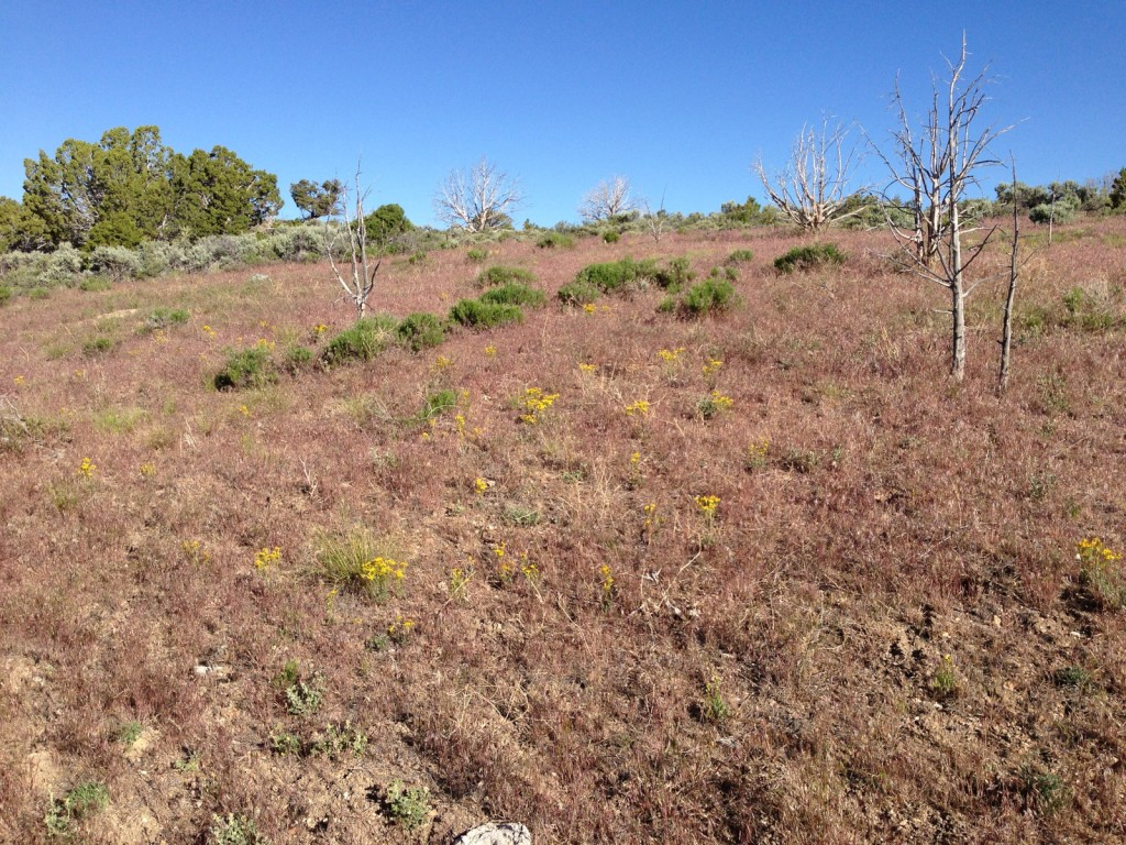 Cheatgrass response to prescribed fire in pinyon/juniper forest, southern Steptoe Valley, NV.