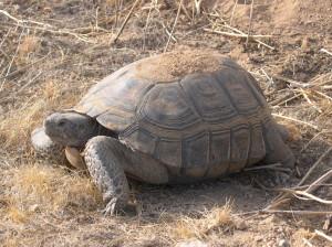 Desert Tortoise © Michael J. Connor (click for larger view)