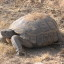 Desert Tortoise © Michael J. Connor (click for larger view)