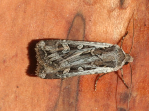 The army cutworm moth. Great grizzly bear food which might provide 40,000 calories a day. Phtoo from maine,gov