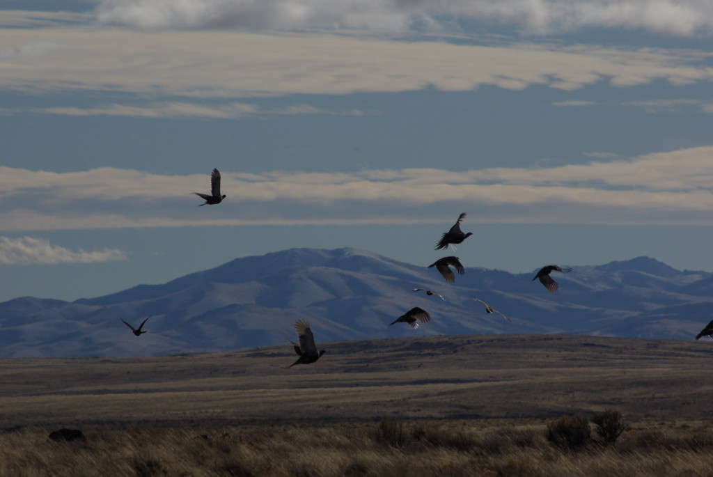These are sage grouse.  Look closely, they're flying. © Ken Cole