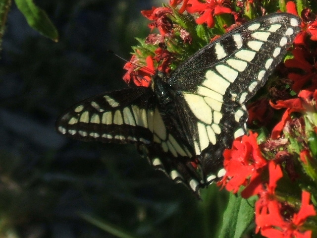 Yellow swallowtail. It's doing better than the poor Monarch butterfly. Photo by Nance. Thank you!