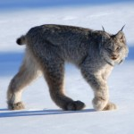 Canada lynx by Keith Williams