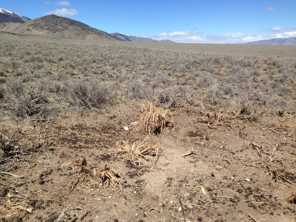 Livestock concentration areas kill sagebrush and leave waste that promotes weeds.