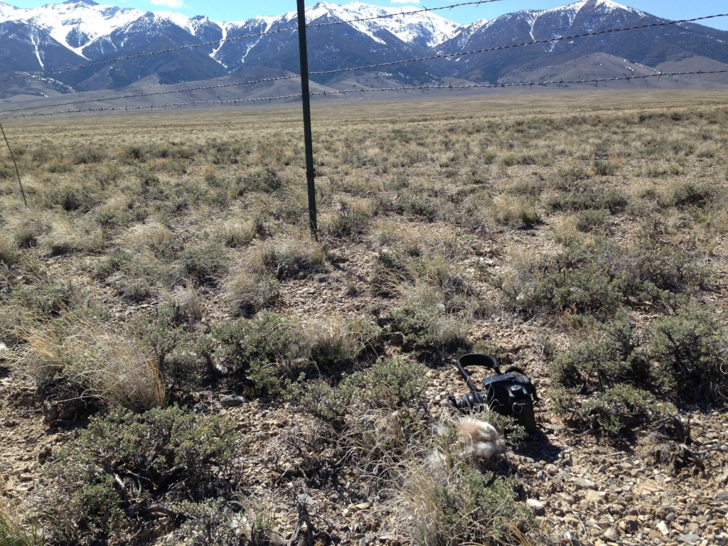 Livestock fencing provides perches for ravens and cause sage grouse collisions. Note sage grouse feathers next to camera.