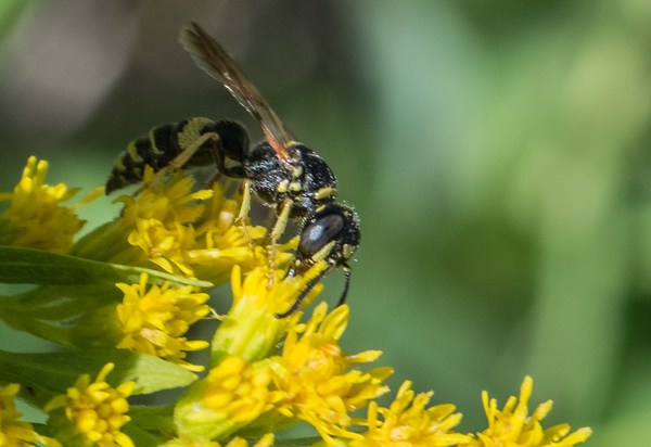 Wasp-like bee on goldenrod. By Ralph Maughan. Taken 7/26/14