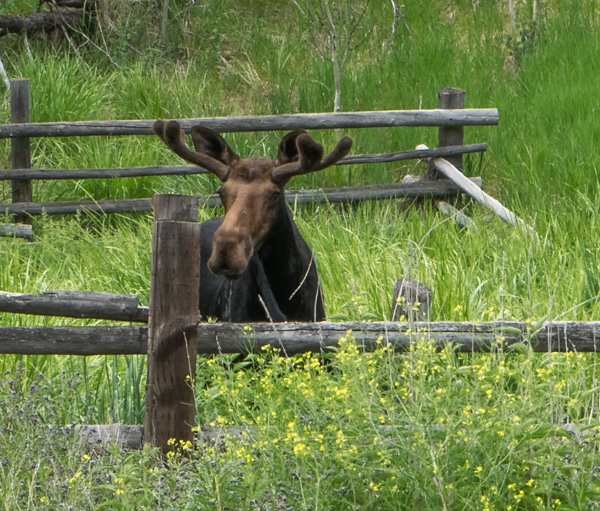 Moose drinks from rainwater in trough in an abandoned corral. Southern Idaho. Copyright Ralph Maughan. June 2014