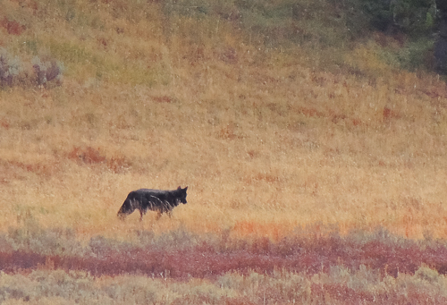 Yellowstone wolf in autumn. Oct. 2014. This was my wolf photo for the year -- in YNP, but not on the northern range.