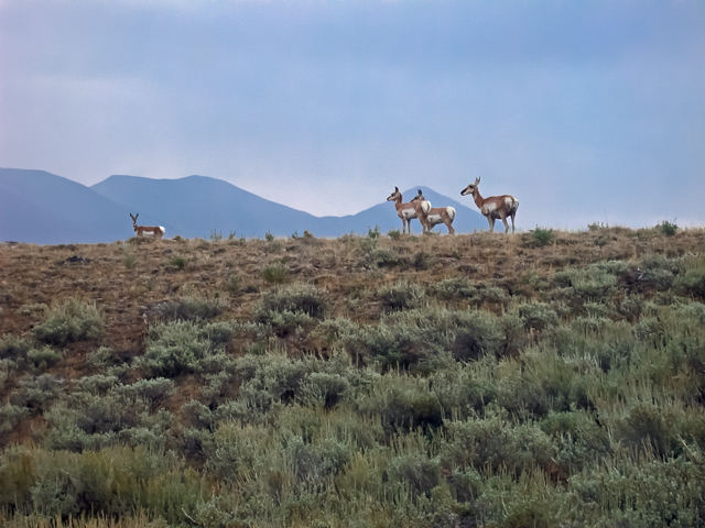 Pronghorn in Copper Basin. South Central Idaho