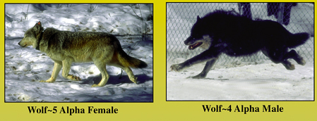 Twenty years ago folks were looking at little photos like these describing the wolves that had been brought to Yellowstone from Alberta. Here are the alpha pair of the Crystal Creek Pack