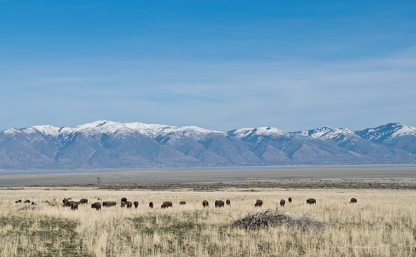 Bison on Antelope Island in the Great Salt Lake (note water level of the lake). Antelope Island State Park has a large bison herd.  Copyright Ralph Maughan